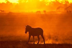 Zebra Silhouetted in the Twilight Haze by Beverly Joubert