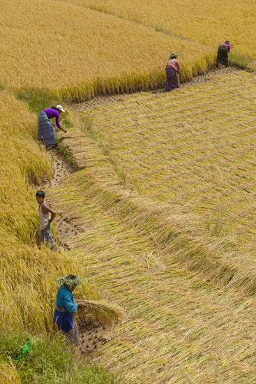 Bhutan, Punakha Region. Family and Neighbors Working Together to Harvest Rice-Brenda Tharp-Photographic Print