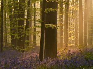 Bluebells Flowering in Wood, Dawn Light Shining Through Trees, Hallerbos, Belgium by Biancarelli