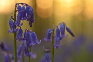 Bluebells (Hyacinthoides Non-Scripta - Endymion Non-Scriptum) in Flower, Hallerbos, Belgium by Biancarelli