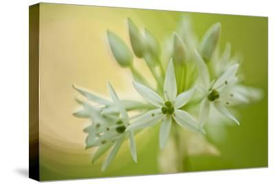 Close-Up of Wild Garlic (Allium Ursinum) Flowers, Hallerbos, Belgium, April 2009