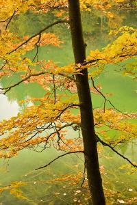 European Beech Tree (Fagus Sylvatica) by Proscansko Lake, Upper Lakes, Plitvice Lakes Np, Croatia by Biancarelli