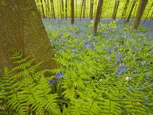 Ferns and Bluebells (Hyacinthoides Non-Scripta - Endymion Non-Scriptum) Hallerbos, Belgium, April by Biancarelli