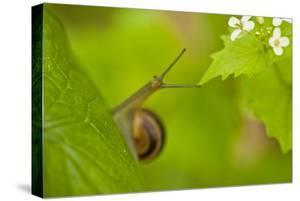Snail on Garlic Mustard (Alliaria Petiolata) Leaves, Hallerbos, Belgium, April by Biancarelli