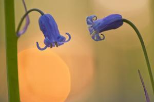 Two Backlit Bluebell Flowers (Hyacinthoides Non-Scripta) Hallerbos, Belgium, April by Biancarelli
