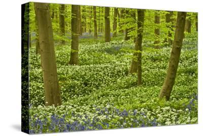 Wild Garlic and Bluebell Carpet in Beech Wood, Hallerbos, Belgium