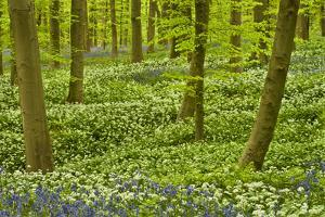 Wild Garlic and Bluebell Carpet in Beech Wood, Hallerbos, Belgium by Biancarelli
