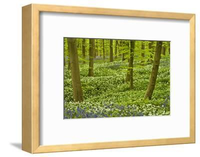 Wild Garlic and Bluebell Carpet in Beech Wood, Hallerbos, Belgium