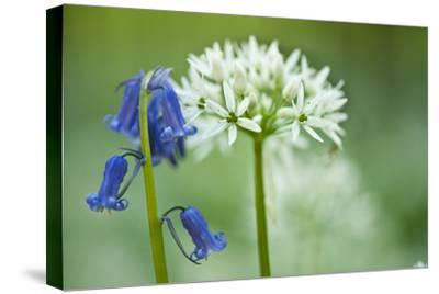 Wild Garlic and Bluebell in Flower, Beech Wood, Hallerbos, Belgium