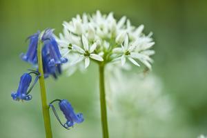Wild Garlic and Bluebell in Flower, Beech Wood, Hallerbos, Belgium by Biancarelli