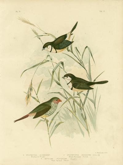 Bicheno's Finch, 1891-Gracius Broinowski-Giclee Print