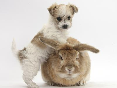 Bichon Frise Cross Yorkshire Terrier Puppy, 6 Weeks, and Sandy Rabbit-Mark Taylor-Photographic Print