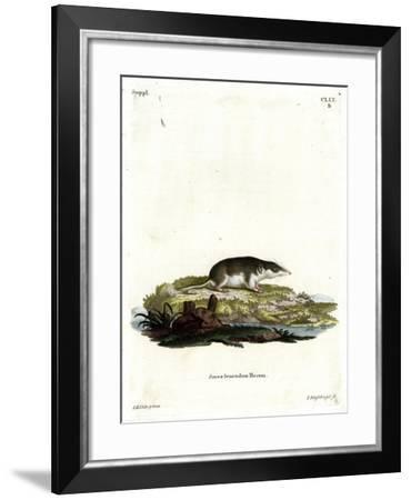 Bicolored Shrew--Framed Giclee Print