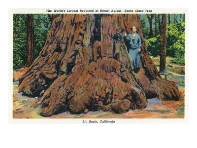 Big Basin, California - Woman Stands by Santa Clara Tree-Lantern Press-Art Print