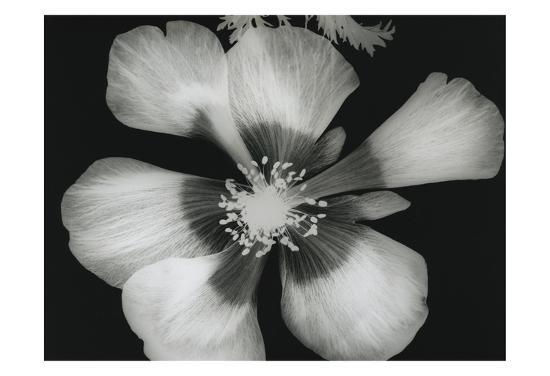 Big Blossom III-Albert Koetsier-Art Print