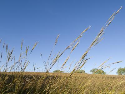 Big Bluestem Grass at Nine Mile Prairie-Joel Sartore-Photographic Print