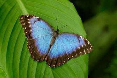 Big Butterfly Blue Morpho, Morpho Peleides, Sitting on Green Leaves, Costa Rica-Ondrej Prosicky-Photographic Print