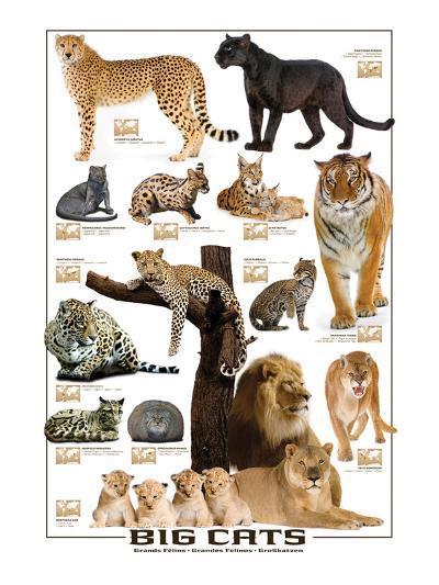 Big Cats--Art Print