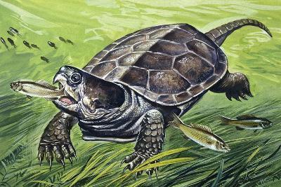 Big-Headed Turtle (Platysternon Megacephalum), Platysternidae--Giclee Print