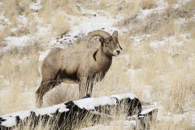 Big Horn Ram, North Fork Shoshone River, Near Cody, WYoming-Howie Garber-Photographic Print