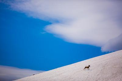 Big Horn Sheep, Glacier National Park, Montana, United States of America, North America-Laura Grier-Photographic Print