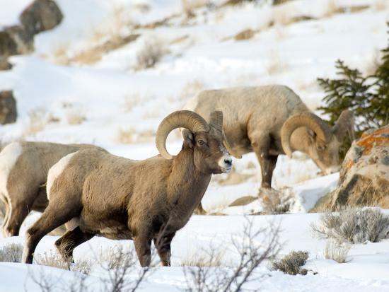 Big Horn Sheep Graze in the Gros Ventre Range, Jackson Hole, Wyoming, Usa-Daniel Schreiber-Photographic Print
