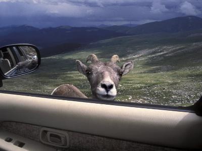 Big Horn Sheep Looking Through Car Window, Mt. Evans, Colorado, USA-James Gritz-Photographic Print