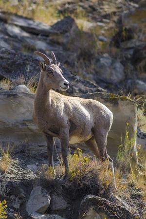 https://imgc.artprintimages.com/img/print/big-horn-sheep-near-mammoth-hot-springs-yellowstone-national-park-wyoming_u-l-q13c47w0.jpg?p=0