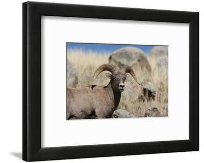 Big Horn Sheep Yellowstone--Framed Art Print