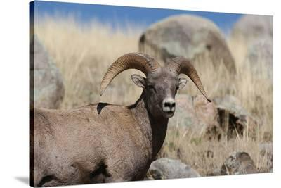 Big Horn Sheep Yellowstone--Stretched Canvas Print