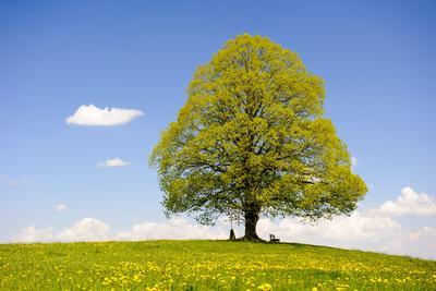 https://imgc.artprintimages.com/img/print/big-lime-tree-as-a-single-tree-in-the-spring_u-l-q1bz6nw0.jpg?p=0