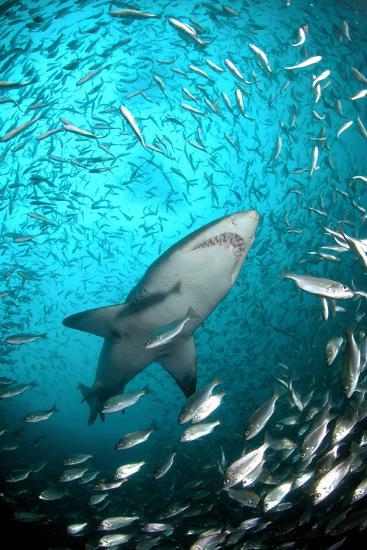 Big Raggie Swims through Baitfish Shoal-Jean Tresfon-Photographic Print