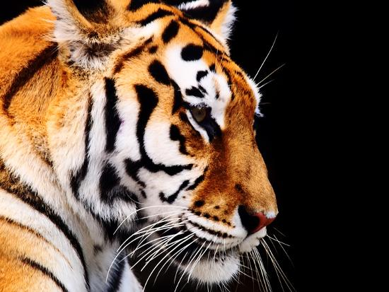 Big Tiger on a Black Background- ANP-Photographic Print