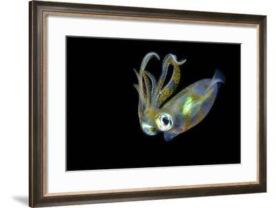 Bigfin Squid (Sepioteuthis Lessoniana) Hovering in Mid Water at Night-Alex Mustard-Framed Photographic Print