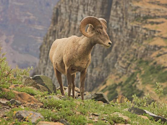 Bighorn Ram, Glacier National Park, Montana, USA-Geoffrey Schmid-Photographic Print