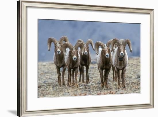 Bighorn Rams, Each at Least Six Years Old, Referred to as 'Full Curl' Rams-Tom Murphy-Framed Photographic Print