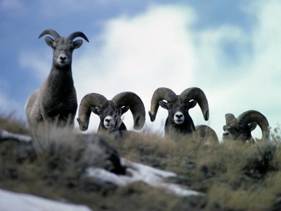 Bighorn Rams Peer over the Ridge at Photographer-Michael S^ Quinton-Photographic Print