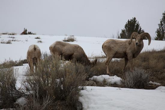 Bighorn Sheep Graze in a Snowy Field in Teton National Park-Steve Winter-Photographic Print