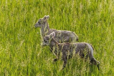 Bighorn Sheep Lambs in Grasslands in Badlands National Park, South Dakota, Usa-Chuck Haney-Photographic Print