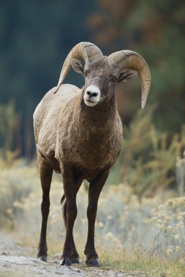 Bighorn Sheep on a Trail-DLILLC-Photographic Print