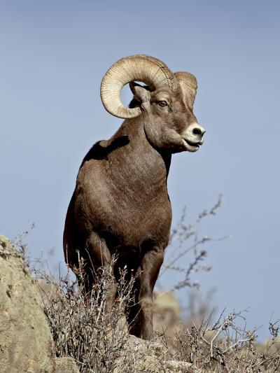 Bighorn Sheep (Ovis Canadensis) Ram During the Rut, Arapaho National Forest, Colorado, USA-James Hager-Photographic Print