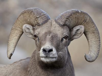 Bighorn Sheep (Ovis Canadensis) Ram Durng the Rut, Clear Creek County, Colorado, USA, North America-James Hager-Photographic Print