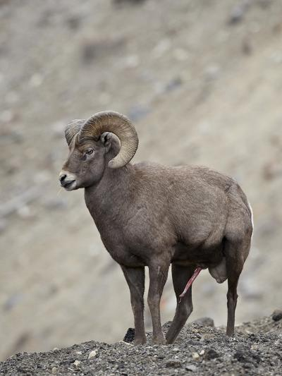 Bighorn Sheep (Ovis Canadensis) Ram with an Erection During Rut, Clear Creek County, Colorado, USA-James Hager-Photographic Print