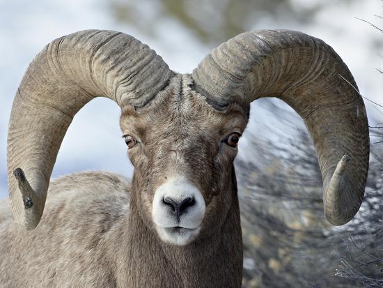 Bighorn Sheep (Ovis Canadensis) Ram, Yellowstone National Park, Wyoming,--Photographic Print