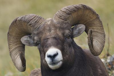 https://imgc.artprintimages.com/img/print/bighorn-sheep-ram_u-l-q1d46000.jpg?p=0