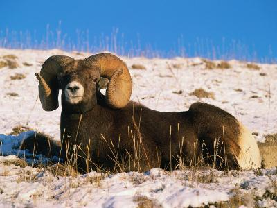 Bighorn Sheep Rests in the Snow-Jeff Foott-Photographic Print