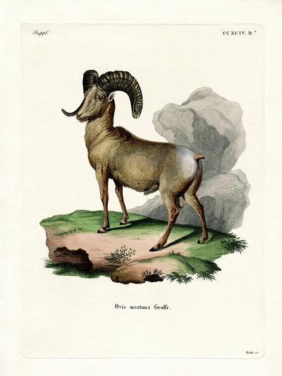 Bighorn Sheep--Giclee Print