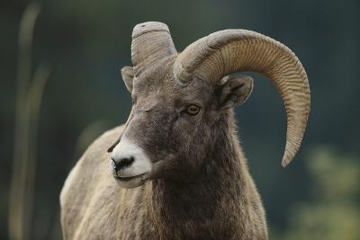 Bighorn Sheep-DLILLC-Photographic Print