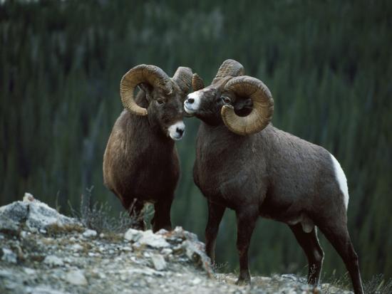 Bighorn Sheep-Jeff Foott-Photographic Print