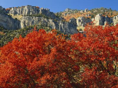 Bigtooth Maple, Blacksmith Fork Canyon, Bear River Range, Wasatch National Forest, Utah, USA-Scott T^ Smith-Photographic Print